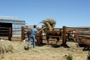 Tyler Gerber, 15, throws hay to a group of steers on the family ranch Wednesday morning. The Gerbers neighbors helped them move their livestock Tuesday night as the Sand Fire moved rapidly across the sagebrush toward their home. Their house was not damaged, and the family was able to return home later Tuesday night.