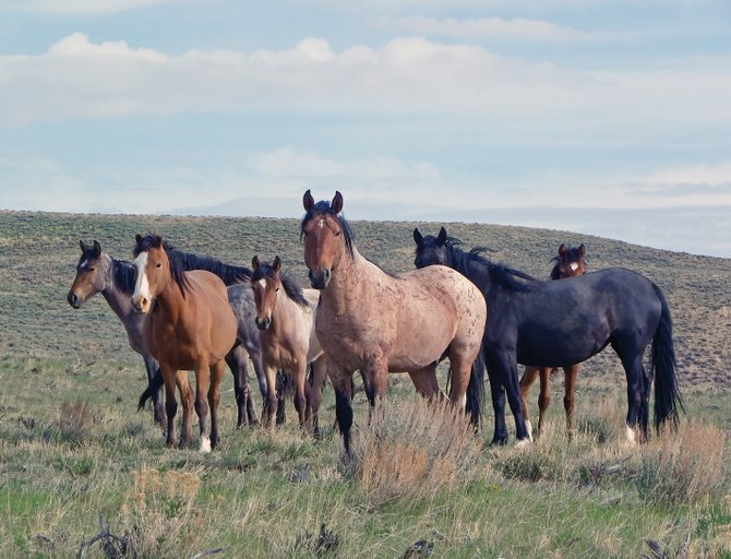The Bureau of Land Management reported that volunteers removed more than 750 pounds of barbed wire June 15 and 16 from Sand Wash Wild Horse Herd Management Area, making the area safer for wild horses like those pictured in this file photo.
