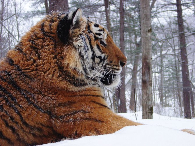 Photographer John Goodrich captured this photo of a wild-born Amur (Siberian) tiger in a wildlife rehabilitation center in Far East Russia. His work will be on display this month at Ciao Gelato and Comb Goddess, beginning at First Friday Artwalk.
