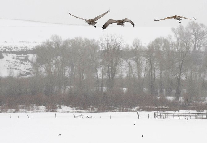 The greater sandhill cranes that stop in western Routt County along their migration route will be celebrated during the first Yampa Valley Crane Festival in Steamboat Springs and Hayden from Sept. 16 to 19.