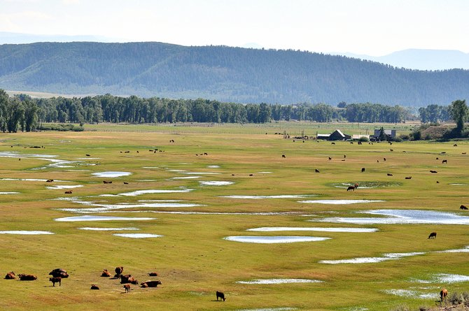 Cattle graze on a wet field along the Elk River on Saturday north of Steamboat Springs. Thunderstorms are in the forecast for the Yampa Valley on Monday and Wednesday.