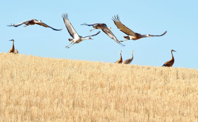 Cranes take flight in a field near Steamboat Springs.