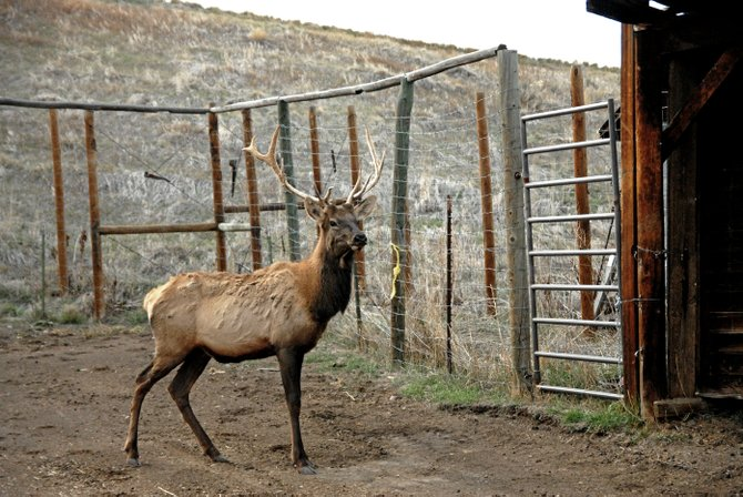 J.R., a two-year-old, six-point bull elk, pauses for photos Monday upon his arrival at his new home at the Wyman Museum in Craig. Jr. can be viewed by visitors in Clyde the elk's old pen. Clyde passed away last month at the age of 18.