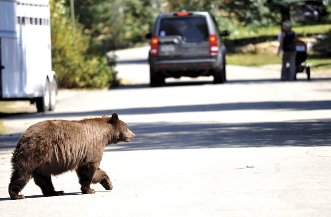 A bear crosses Spruce Street as pedestrians and motorists go about their daily routine in September.