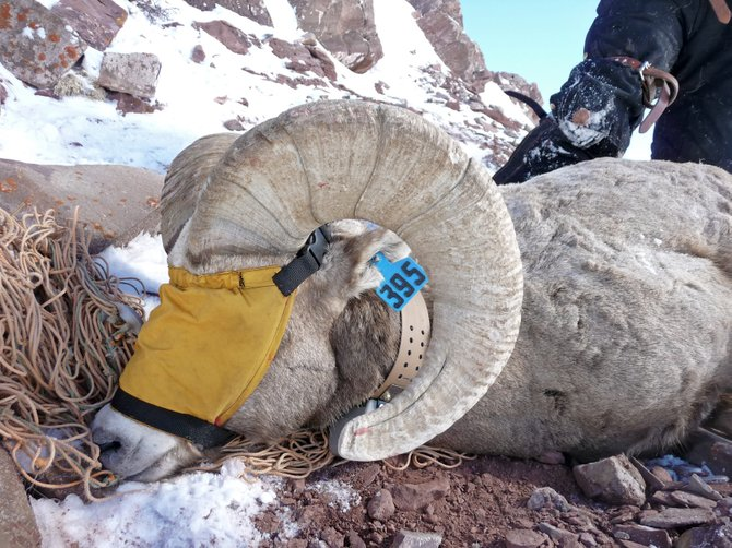 This Rocky Mountain bighorn ram was one of 10 collared recently in the Maroon Bells-Snowmass Wilderness as part of a joint study being conducted by Colorado Parks and Wildlife and the U.S. Forest Service. The study will provide information on movement trends.