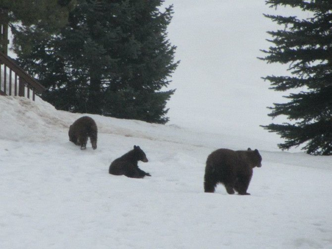 Steamboat Today reader Becky Slamal submitted this photo of bears on the first day of spring. Colorado Parks and Wildlife Area Wildlife Manager Jim Haskins identified the bears as a sow and her two yearling cubs that were born the previous winter.