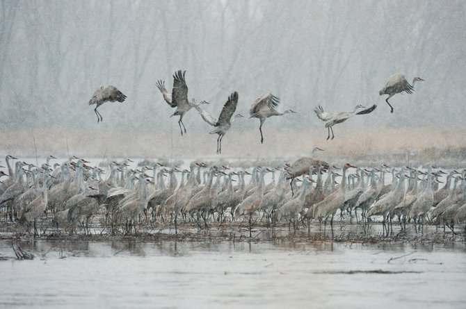Sandhill cranes roost on the shallow water of the Platte River in Nebraska as others take off into an early morning spring snowstorm. Thomas Mangelsen, who photographs the cranes each year at his cabin in Nebraska, will appear at his Steamboat Springs Images of Nature gallery on Friday for an annual reception.