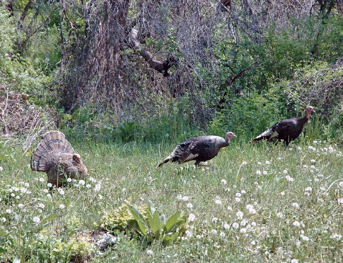 Spring turkey season starts Saturday. Colorado Parks and Wildlife issued 12,000 tags for the 44-day season.