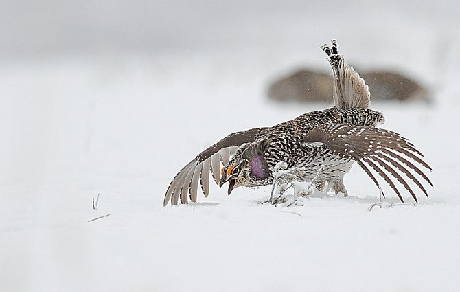 A Columbian sharp-tailed grouse dances on a lek near Lake Catamount. Routt County is one of only three counties in Colorado with Columbian sharp-tailed grouse.