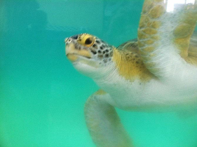 An Atlantic green sea turtle swims in a tank at Sea Turtle Inc. on South Padre Island, Texas.