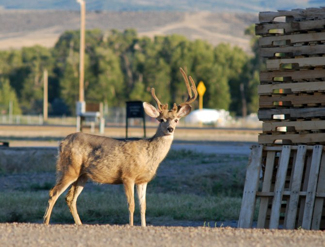 Mule deer, like this non-typical buck, are a common sight in downtown Craig. Though difficult, Colorado Parks and Wildlife is asking residents to resist the temptation to feed wildlife.
