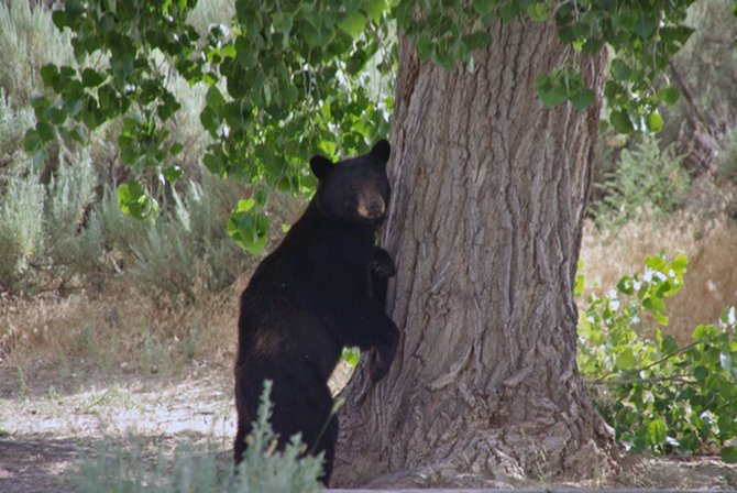 Black bear sightings at Dinosaur National Monument have forced park officials to temporarily close two Ely Creek backcountry campsites located along the Jones Hole Trail. The Jones Hole Trail, which is popular with hikers and fishermen, remains open at this time.
