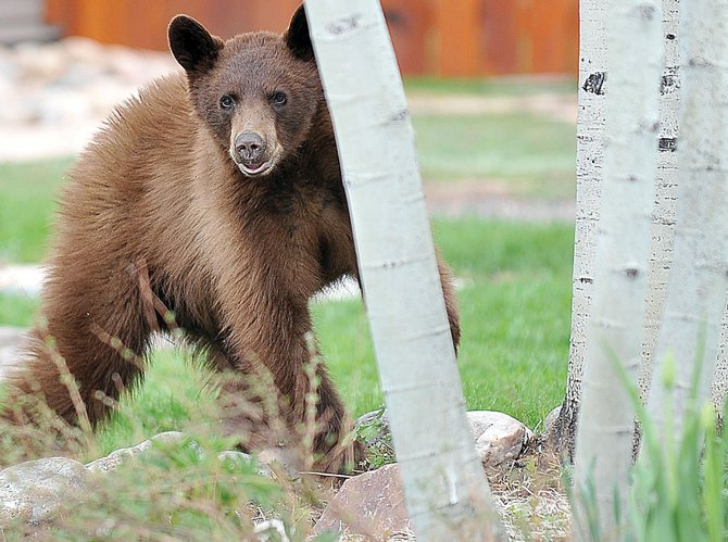 A black bear, most likely a yearling, runs through the Pamela Lane neighborhood in Steamboat Springs last year. Another yearling this year is suspected of opening car doors and causing trouble near Burgess Creek.