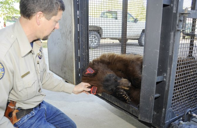 Colorado Parks and Wildlife officer Steve Baumgardner tags a bear that might be responsible for breaking into cars in Steamboat.