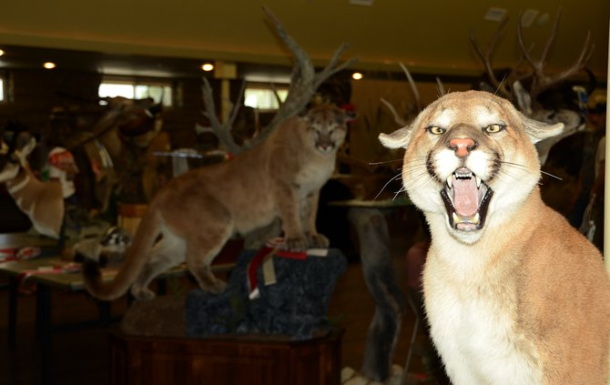 Mountain lions, black bears, elk, deer, ducks and sheep were only a few of the animals on display Saturday at the Moffat County Fairgrounds Pavilion, where roughly 175 people gathered to evaluate entries in the Colorado State Taxidermy Championships.