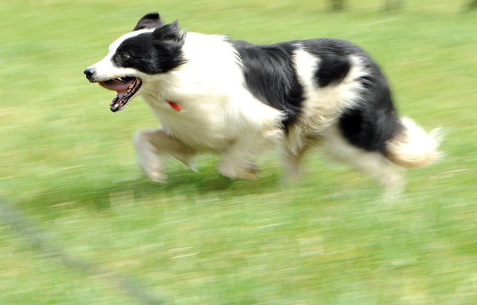 Spot the border collie flies across a South Routt meadow Sunday during the final day of competition in the National Cattledog Association's open championship event. The contest drew about 120 dogs to Steamboat Springs for five days of competition.