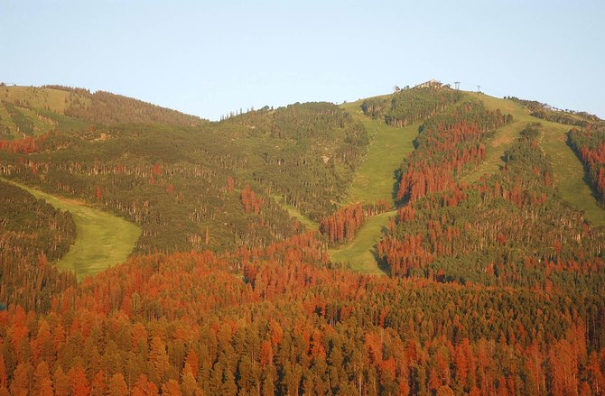 Anyone who has spent any time in the Colorado high country has seen the damage done by mountain pine beetles — vast swaths of formerly green forested hills painted red, or gray, by dying and dead trees. Extensive logging was done in recent years to remove these dead trees from Steamboat Ski Area.