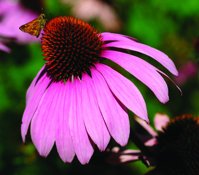 Prior to the discovery of antibiotics, the herb echinacea (purple coneflower) was one of the most widely prescribed medicines in the United States.
