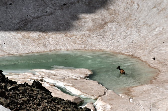 An elk goes for a summer swim in an icy pool in Rocky Mountain National Park. Scenes like this are a treat on the drive from Grand Lake to Estes Park on Trail Ridge Road.