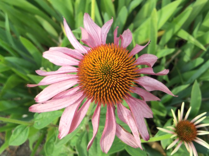 A purple coneflower blooms at the Victory Garden at the intersection of Victory Way and Finley Lane. The Craig Beautification Committee has been maintaining the spot for several years.