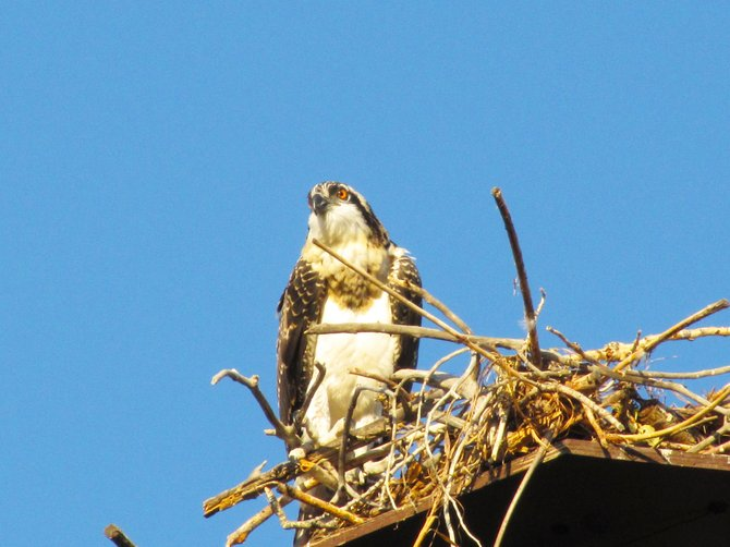 A young osprey perches on a nest near the Wyman Museum in Craig. The Wyman nest boasts three offspring that are flying to and from their nest.
