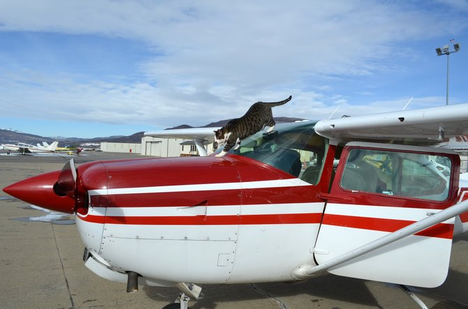 Ted, the Steamboat Springs Airport cat, conducts a preflight check on a Cessna in January 2012.