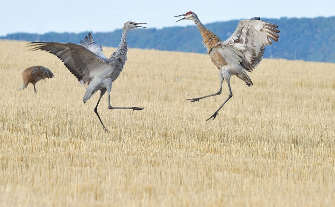 Sandhill cranes go beak to beak while feeding in a field just west of Steamboat Springs in 2012. The cranes were part of a larger flock that gathers each year in the field. This year's Yampa Valley Crane Festival runs through Monday.