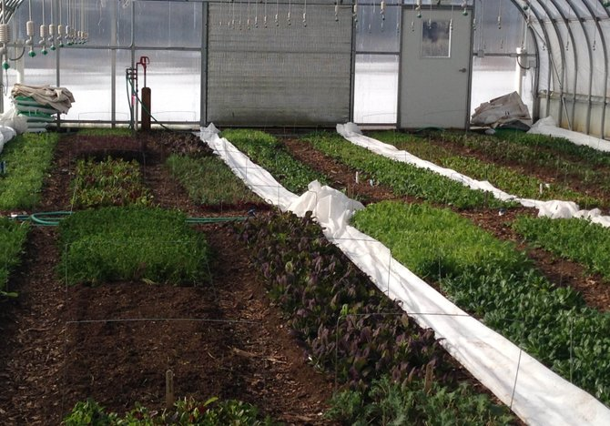Greens grow at Elkstone Farm in Strawberry Park near Steamboat Springs. Elkstone sells its produce through Yampa Valley Co-op, which provides a market for consumers and producers of local goods.