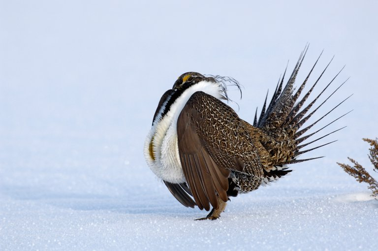 Sage grouse numbers have declined slowly in recent years, prompting conservation groups to have the federal government consider the bird for the endangered species list. If that happens, it could have tremendous economic impacts that could hurt Colorado and Moffat County specifically, according to elected officials.