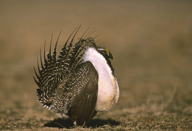 Sage grouse numbers have declined slowly in recent years, prompting conservation groups to have the federal government consider the bird for the endangered species list. This week, Gov. John Hickenlooper sent a letter to the Bureau of Land Management stating that its proposed plan for the bird was not acceptable.