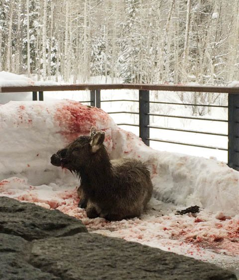 A Colorado Division of Parks and Wildlife officer on Thursday morning put down this injured elk. It is suspected the elk was injured by a dog.