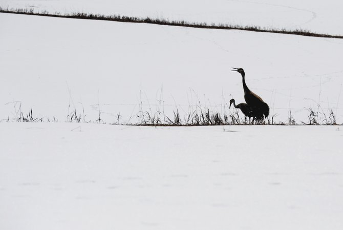 A crane sounds the alarm after being approached while eating in a pasture west of Steamboat Springs on Wednesday afternoon.