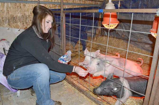 "Brice White, 18, feeds her pigs marshmallows inside their barn last week. White is in her final year of showing at the Moffat County Fair, which she says is ""kind of sad and kind of relieving at the same time."""