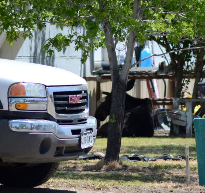 A moose sat beneath a tree Thursday on Alder Place in the Shadow Mountain trailer park west of Craig. Officials planned to keep people away from the moose to give it a chance to cool down and leave the area on its own.