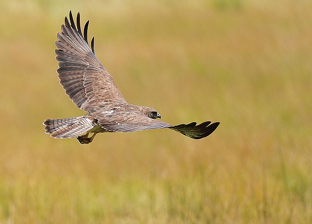 A hawk takes flight from a field northwest of Steamboat Springs. International Migratory Bird Day will be celebrated Saturday.