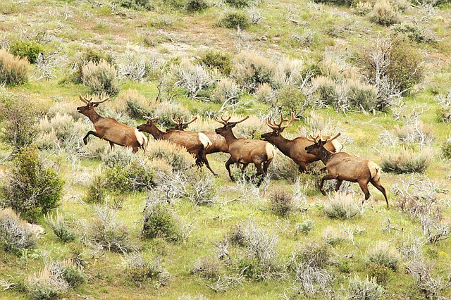 A herd of elk run through the sage brush near Dinosaur National Monument late this summer.