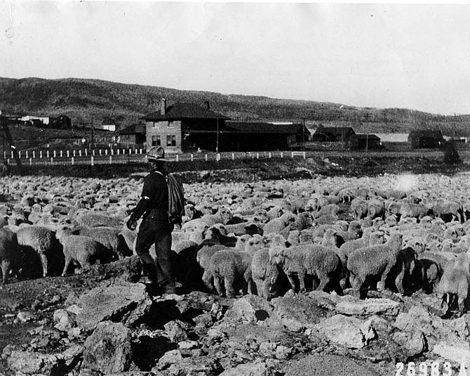 Sheep at the Steamboat Springs Depot awaiting shipment to market.