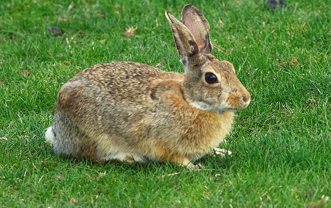 Rabbit fever confirmed in Mesa, Moffat counties | Craig Daily Press