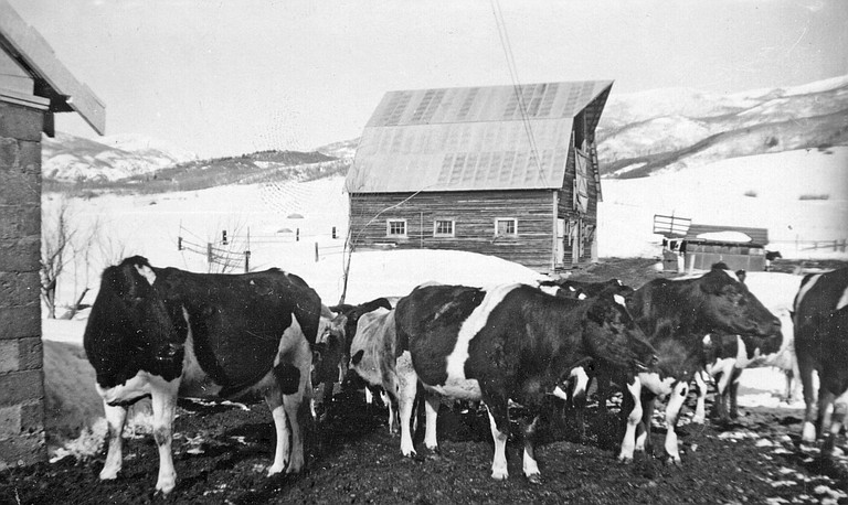 An undated photo of the Arnold Barn shows it in its glory days surrounded by dairy cows.